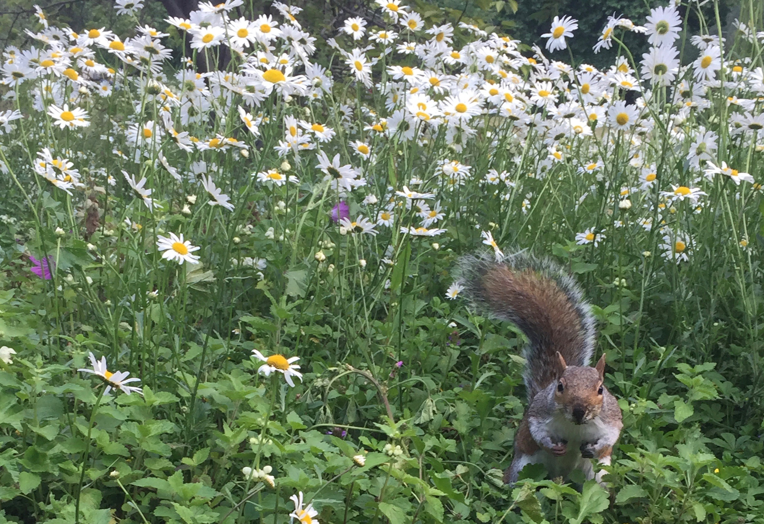 A squirrel in a rather confrontational pose, facing the camera with its tail over its head, standing in a field of daisies