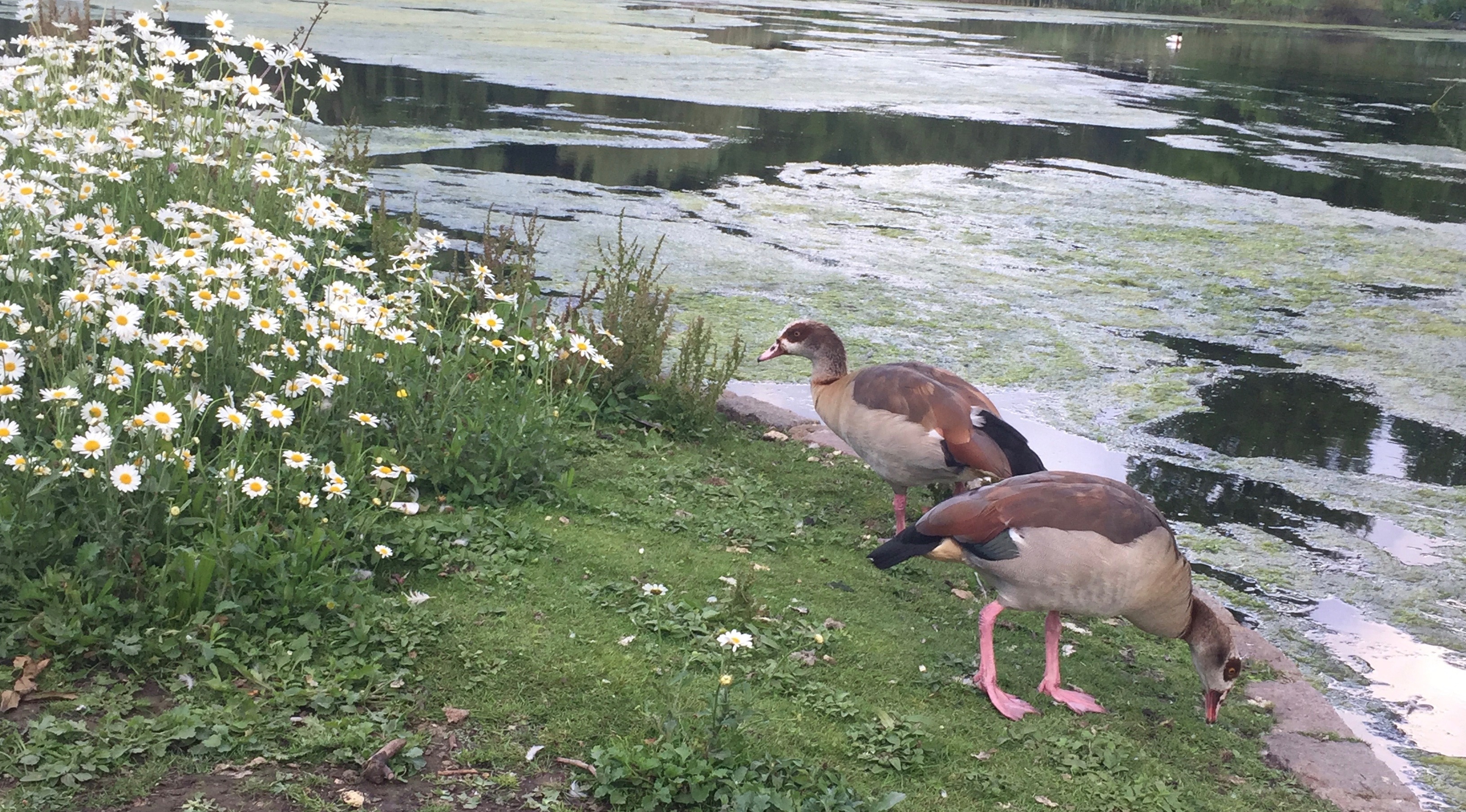 Two Egyptian geese eating grass near a patch of daisies