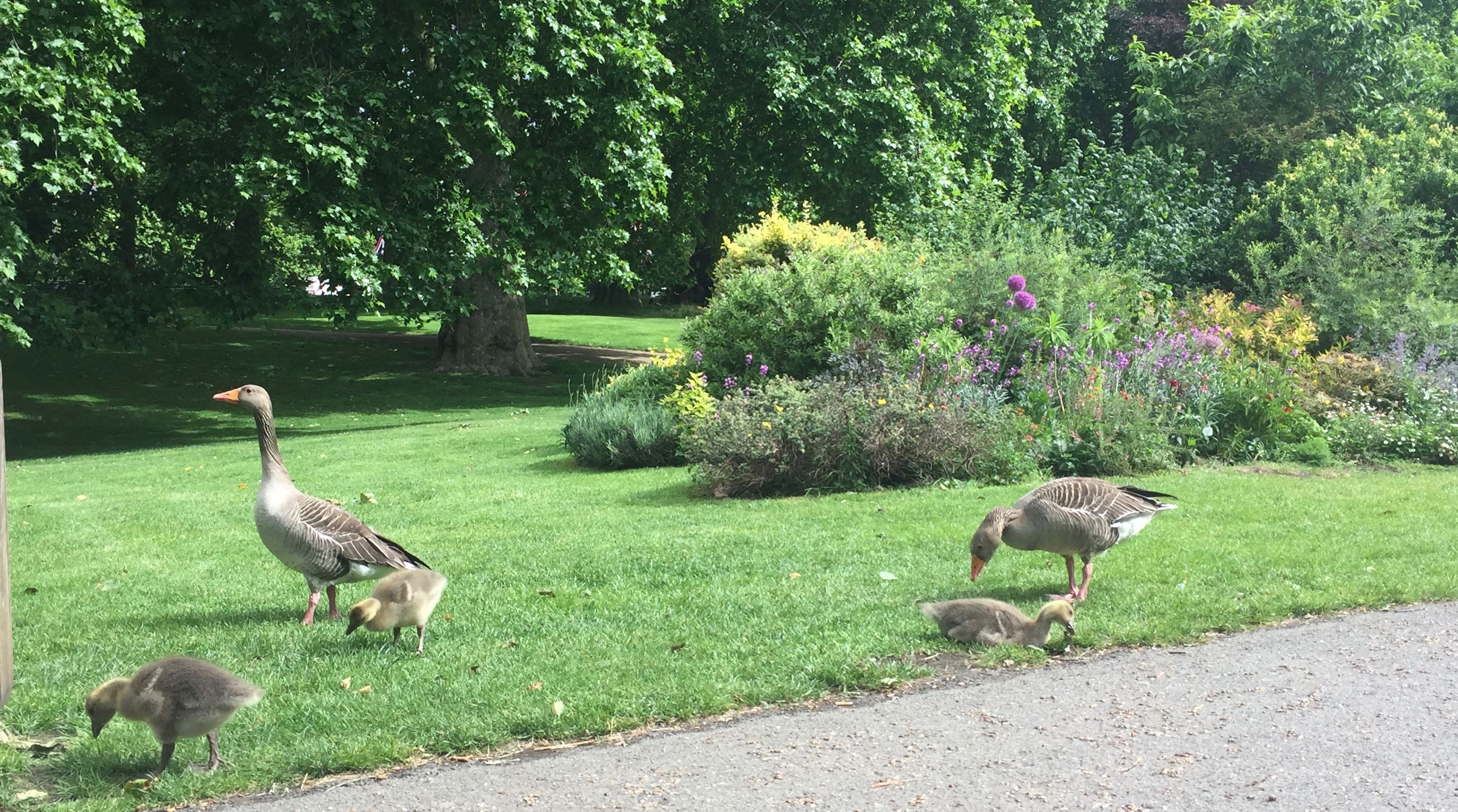 Two adult geese and several goslings eating grass
